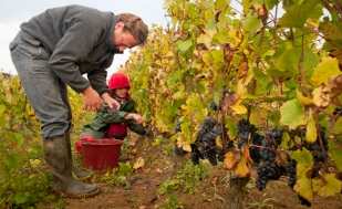 ThiŽbault HUBER involved in all aspects of harvest and a passionate advocate of biodynamics. Domaine Huber-Verdereau, Volnay, Burgundy, France