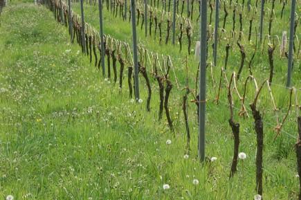 Alsace Bohn 16